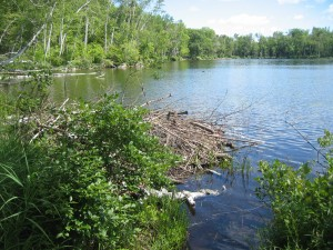 Beaver lodge on Thirteenth Lake