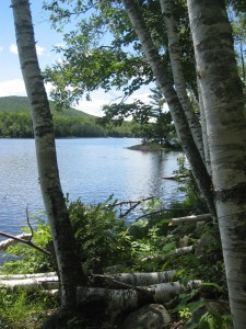 Birch trees on the shores of Thirteenth Lake in the Central Adirondacks