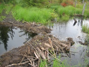 One of many beaver dams encountered along the High Falls Loop